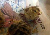 10多天前买的鹌鹑蛋忘记煮竟孵出一窝小鹌鹑